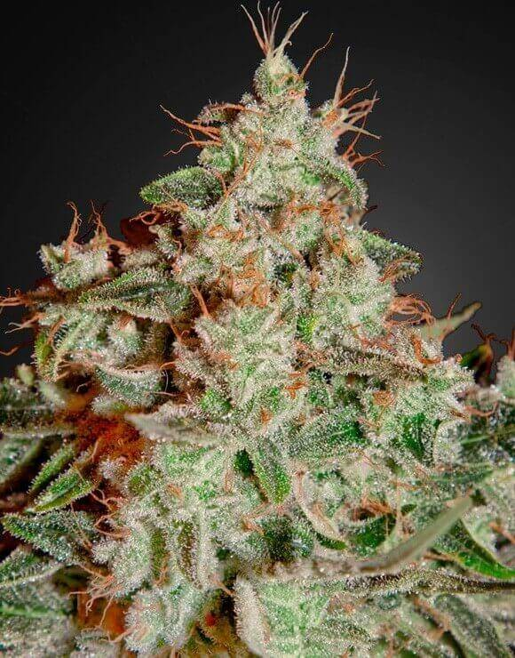 Lemon Skunk Green House Seeds