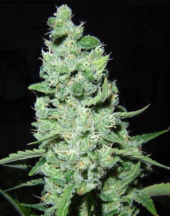 Ak 47 Marihuana