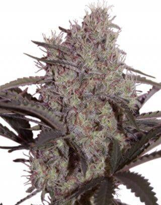 Jack Widow SeedMakers