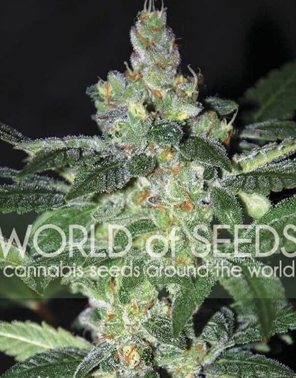 Amnesia World Of Seeds