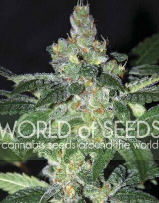 Amnesia World Of Seeds