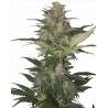 Red Dwarf Autofloreciente Buddha Seeds