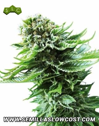 Northern Lights Autofloreciente Sensi Seeds