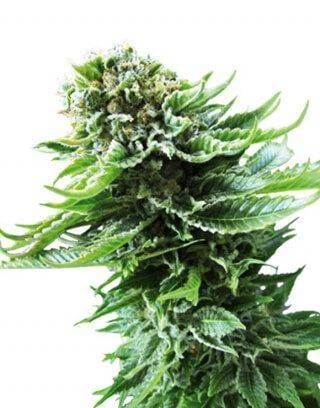 Northern Lights Sensi Seeds Autofloreciente