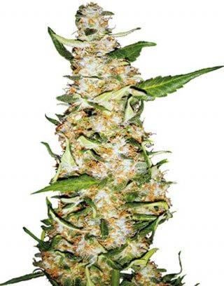 Skunk 1 Sensi Seeds Autofloreciente