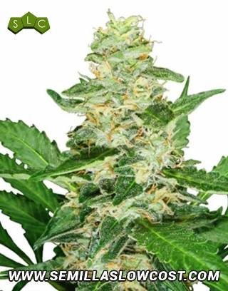 Super Skunk Sensi Seeds Autofloreciente