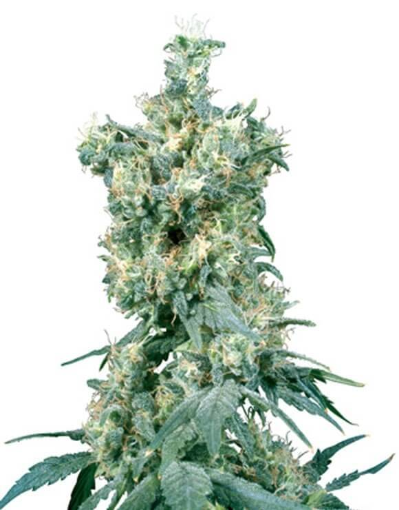 American Dream Regular Sensi Seeds