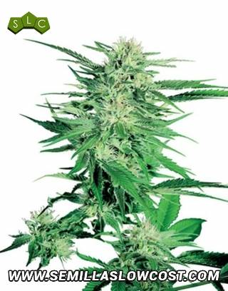 Big Bud Regular Sensi Seeds