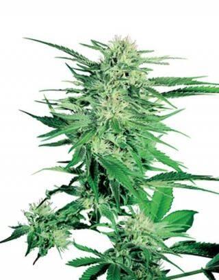 Big Bud Regular Sensi Seeds