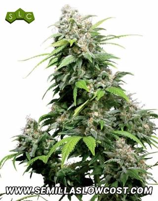 California Indica Regular Sensi Seeds