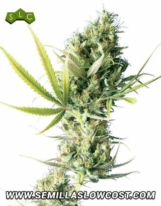 Durban Regular Sensi Seeds