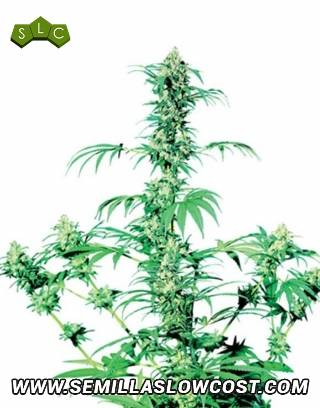 Early Girl Regular Sensi Seeds