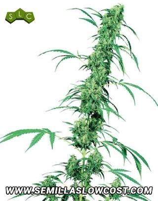 Fruity Juice Regular Sensi Seeds