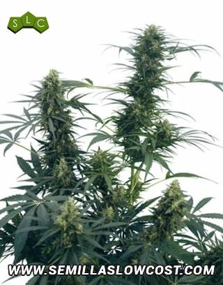 Guerrilla's Gusto Regular Sensi Seeds