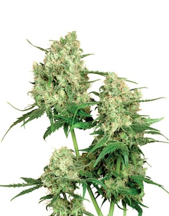 Maple Leaf Indica Regular Sensi Seeds