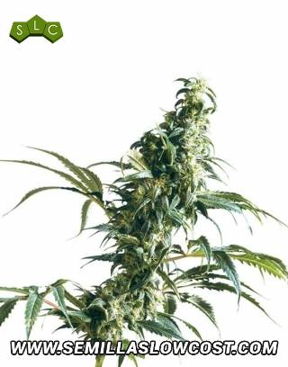 Mexican Sativa Regular Sensi Seeds