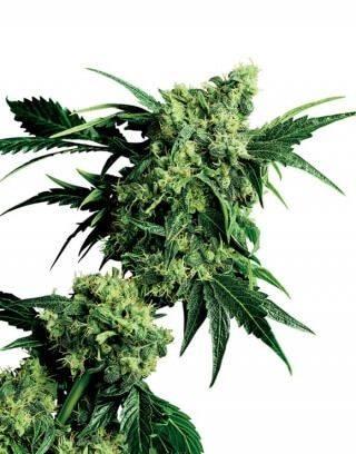 Mr Nice G13 x Hash Plant Regular Sensi Seeds