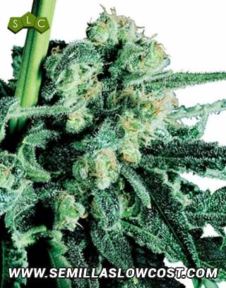 Sensi Skunk Regular Sensi Seeds