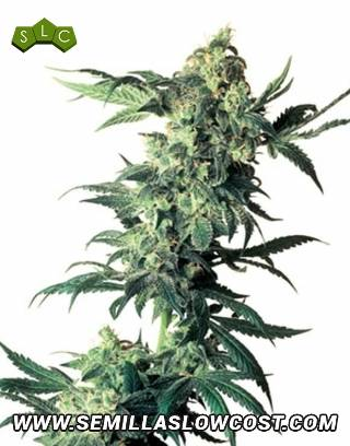 Northern Lights Regular Sensi Seeds