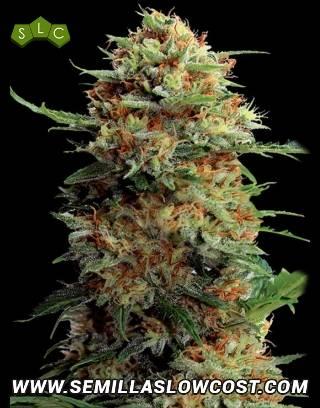 Jack Orange