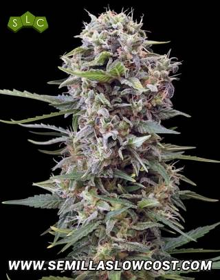 Auto Cheese Gea Seeds