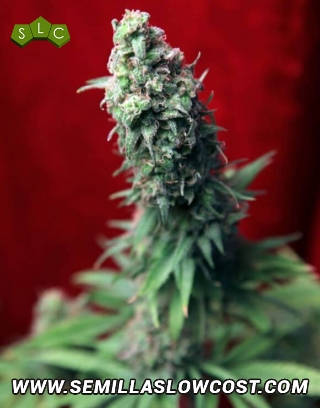 Blackdance Feminizada Reggae Seeds