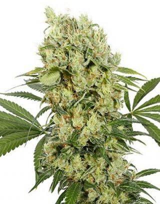 Medikit CBD Feminizada Buddha Seeds