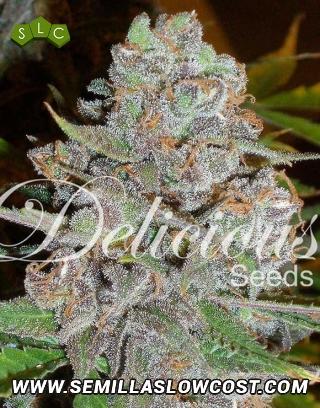 La Diva Feminizada Delicious Seeds