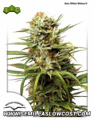 White Widow Autofloreciente Dutch Passion
