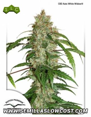 CBD White Widow Autofloreciente Dutch Passion