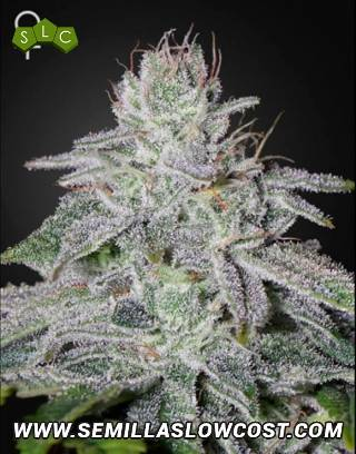 Franco's Lemon Cheese Feminizada Green House Seeds