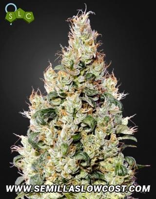 Exodus Cheese CBD Autofloreciente Green House Seeds