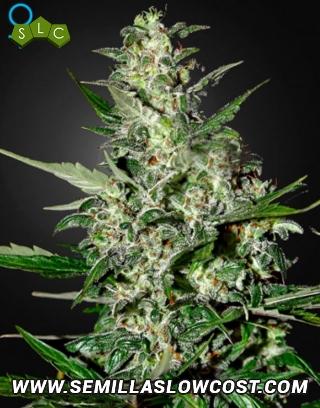Super Critical Autofloreciente Green House Seeds