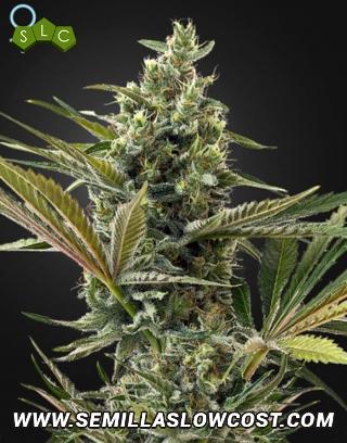Super Lemon Haze CBD Autofloreciente Green House Seeds