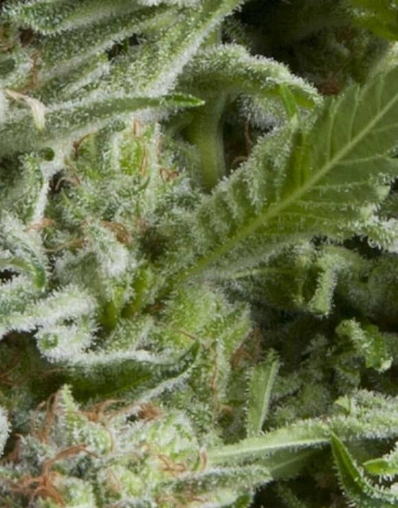 Alpujarreña Autofloreciente Pyramid Seeds