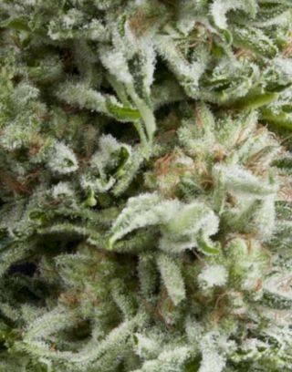 Amnesia Gold Autofloreciente Pyramid Seeds
