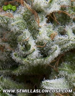 Anesthesia Autofloreciente Pyramid Seeds