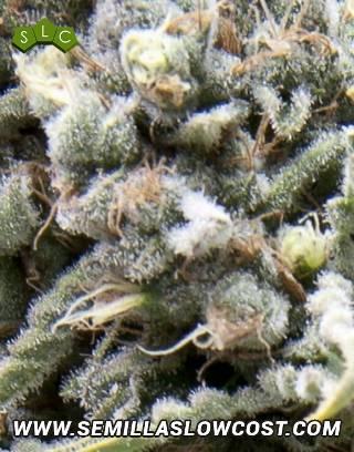 CBD White Widow Autofloreciente Pyramid Seeds