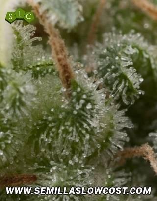 Super Hash Autofloreciente Pyramid Seeds