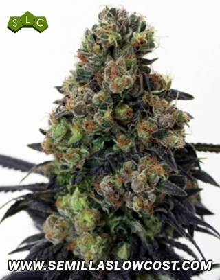 Acid Dough Feminizada Ripper Seeds