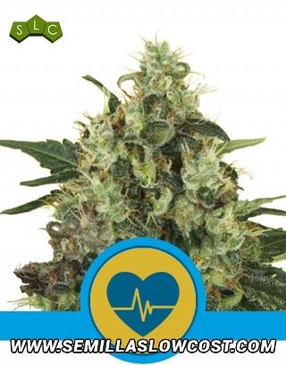 Medical Mass CBD Feminizada Royal Queen Seeds