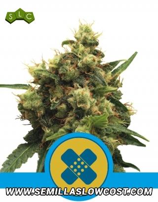 Painkiller XL CBD Feminizada Royal Queen Seeds