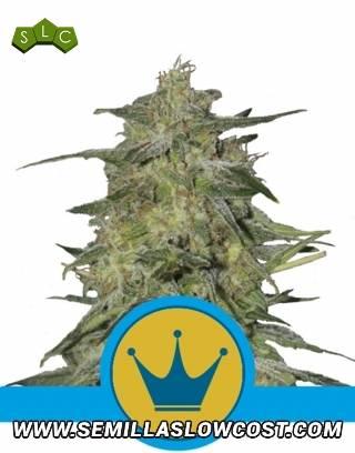 Royal Highness CBD Feminizada Royal Queen Seeds