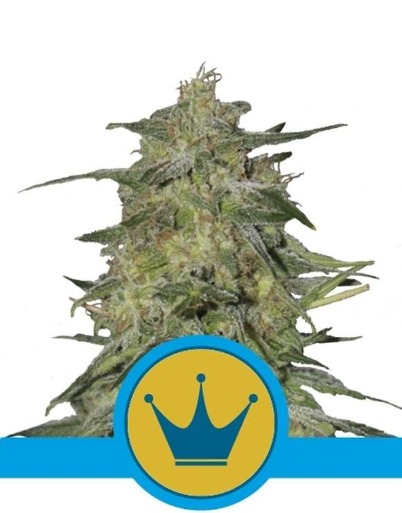 Royal Highness CBD Feminizada Royal Queen Seeds