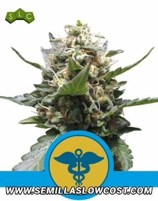 Royal Medic CBD Feminizada Royal Queen Seeds