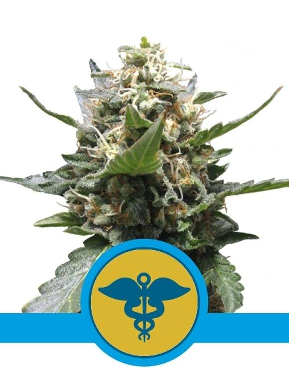 Royal Medic CBD Feminizada Royal Queen Seeds