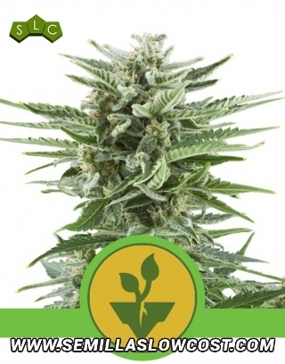 Easy Bud Autofloreciente Royal Queen Seeds