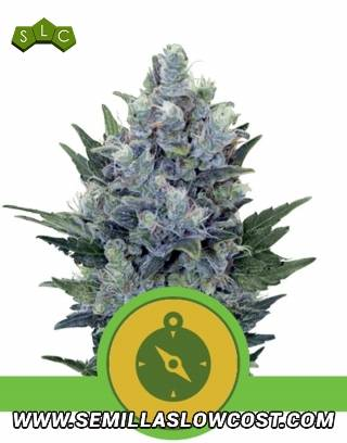 Northern Lights Autofloreciente Royal Queen Seeds
