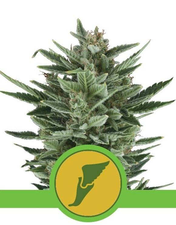 Quick One Autofloreciente Royal Queen Seeds