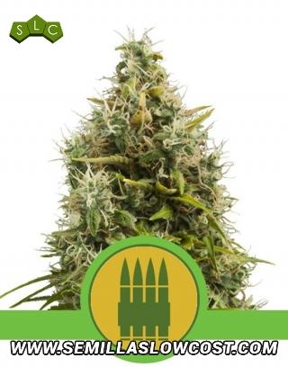 Royal Ak Autofloreciente Royal Queen Seeds